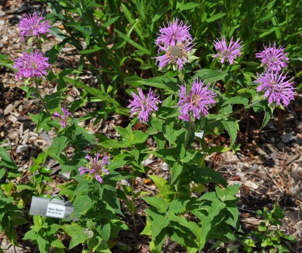 Bee Balm Jefferson County Courage Garden