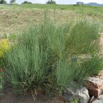 Bluestem joint fir Jefferson County Courage Garden