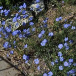 Blue flax Jefferson County Courage Garden