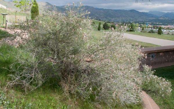 Apache plume Jefferson County Courage Garden
