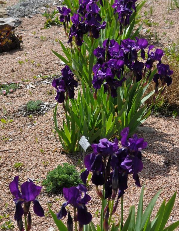 Bearded iris Jefferson County Courage Garden