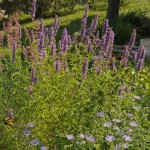 Blue Blazes hyssop Jefferson County Courage Garden