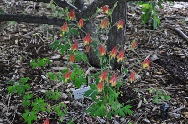 Canada columbine Jefferson County Courage Garden