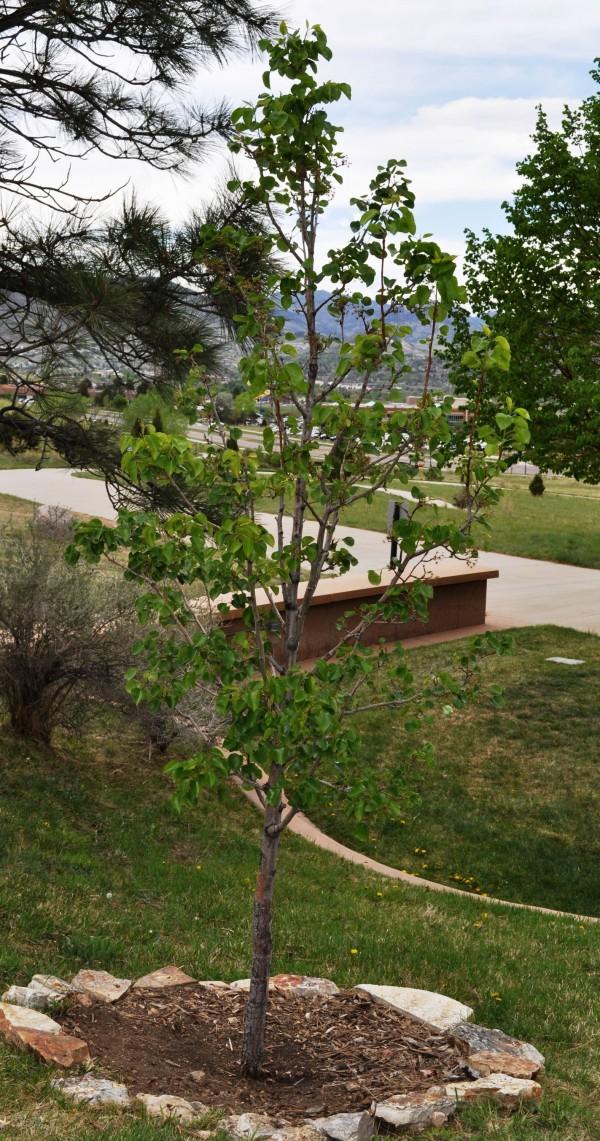 Chanticleer callery pear Jefferson County Courage Garden