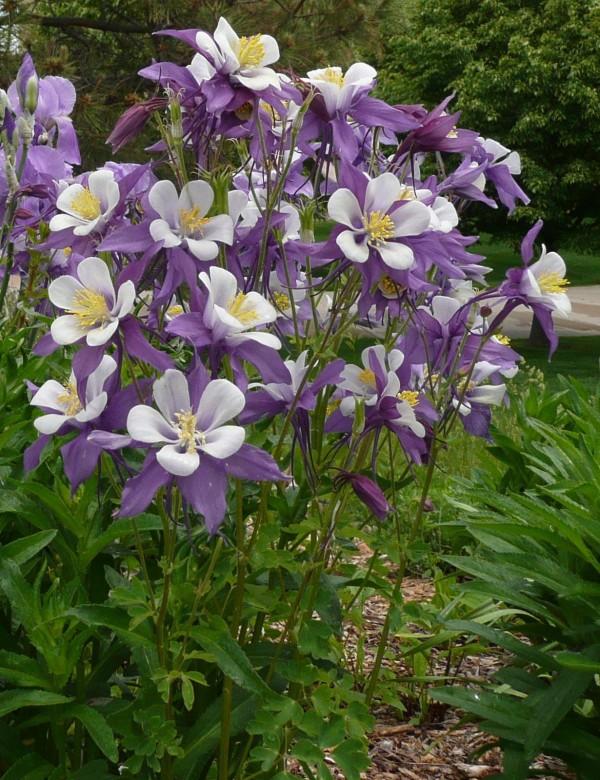 Colorado columbine Jefferson County Courage Garden