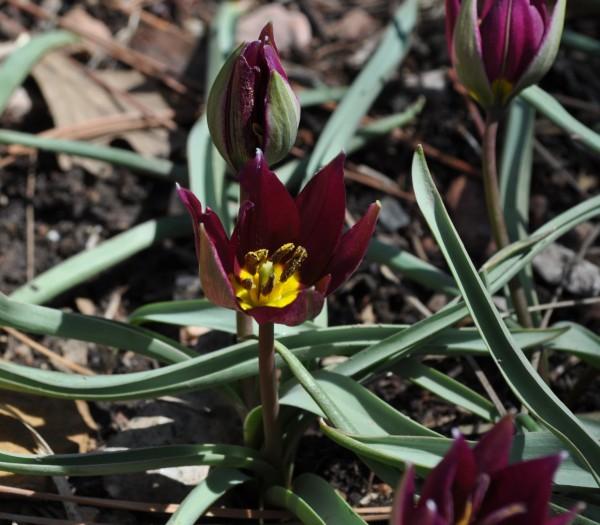Persian Pearl tulip