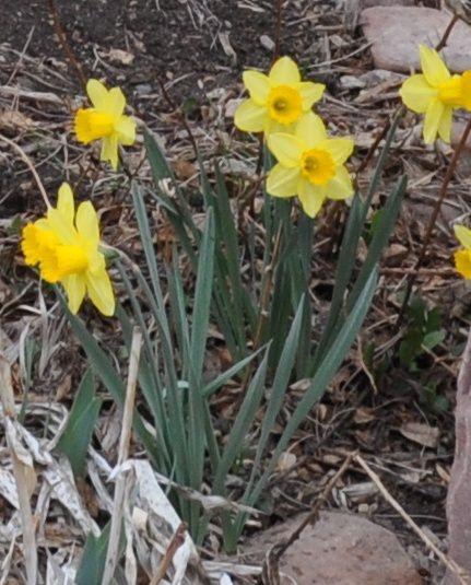 Spellbinder daffodil