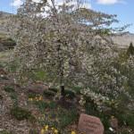 12-04-16 DSC_0862 Columbine garden for history