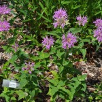 Bee Balm Jefferson County Courage Garden