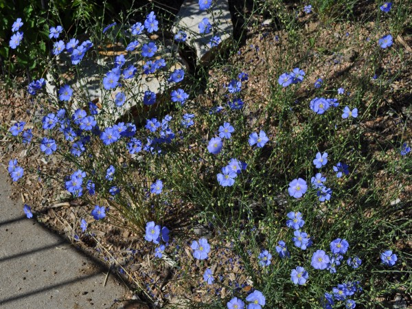Blue flax Jefferson County Courage Garden