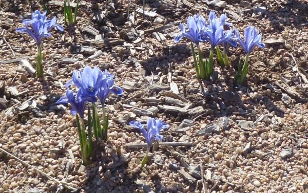 Alida Netted iris