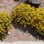 Amur stonecrop Jefferson County Courage Garden