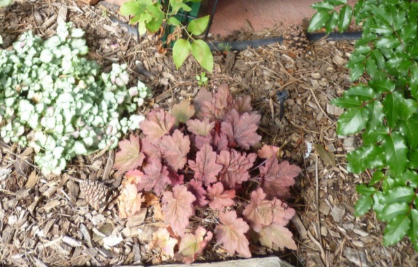 Autumn Leaves coral bells Jefferson County Courage Garden