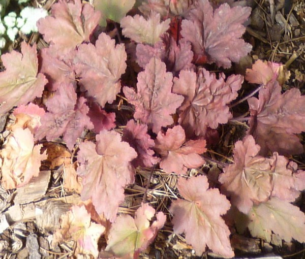 Autumn Leaves coral bells