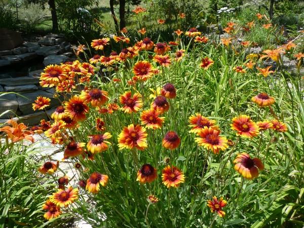 Blanket flower Jefferson County Courage Garden