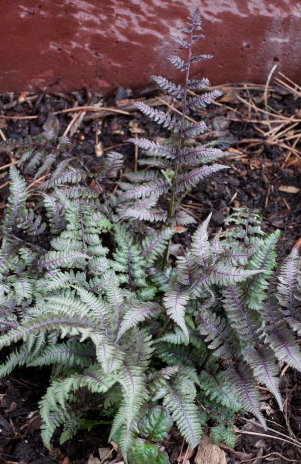 Burgundy Lace Painted fern