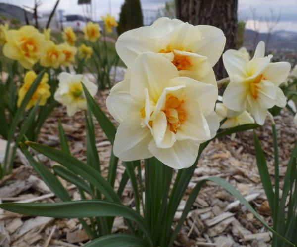 Butterfly daffodil