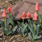 Calypso tulip Jefferson County Courage Garden