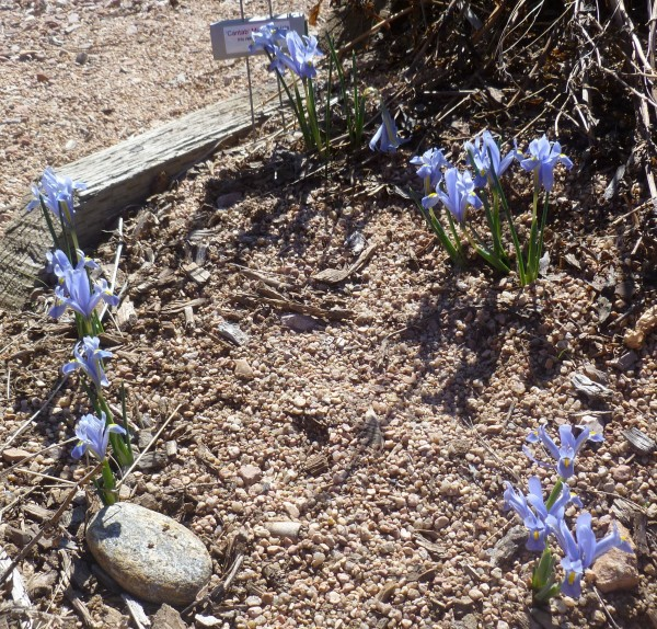 Cantab netted iris Jefferson County Courage Garden