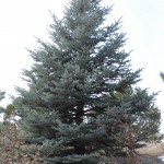 Colorado spruce Jefferson County Courage Garden
