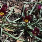 Persian Pearl tulip Jefferson County Courage Garden